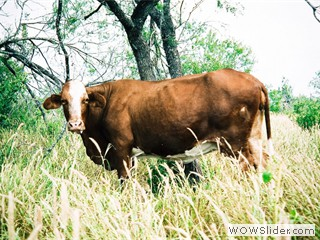 brown_cattle