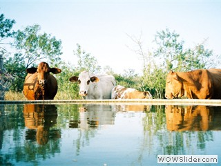 cattle_water